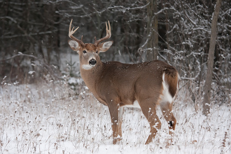 White-tailed deer buck in winter
