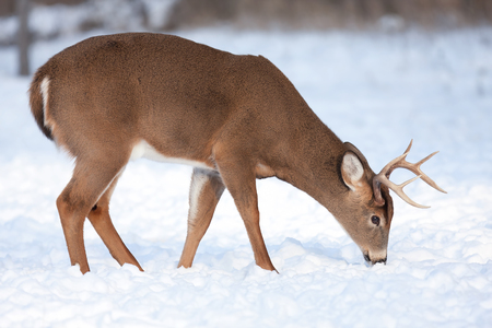 White-tailed deer buck feeding in the winter snow Stock Photo