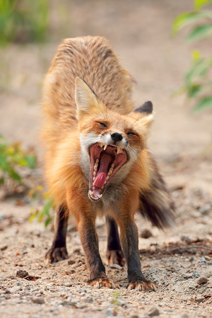 yawing: Red fox (Vulpes vulpes) vixen yawing in Algonquin Park