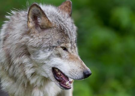 Timber wolf closeup in autumn