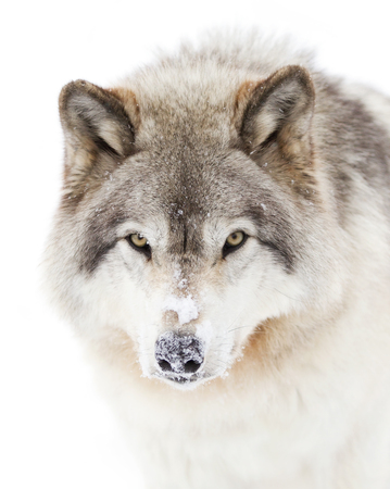 Timber wolf against a white snowy background
