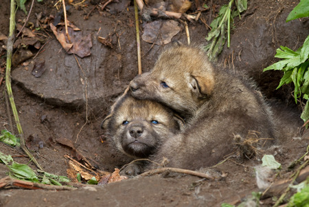pups: Timber wolf pups playing near their den Stock Photo