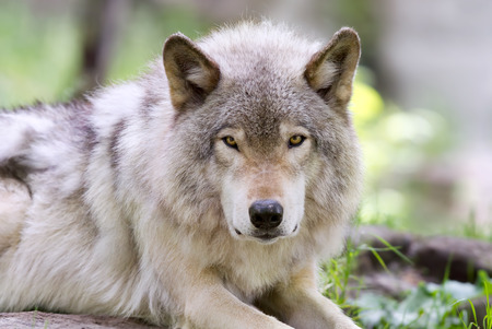 Timber wolf up close in autumn