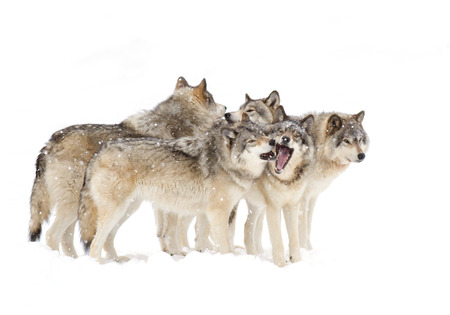 Timber wolf pack playing against a white snowy background