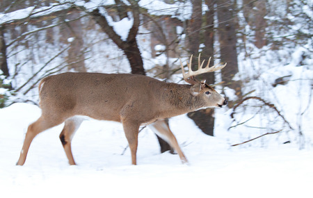 whitetailed: White-tailed deer buck in the winter snow
