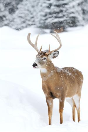 White-tailed deer buck in winter