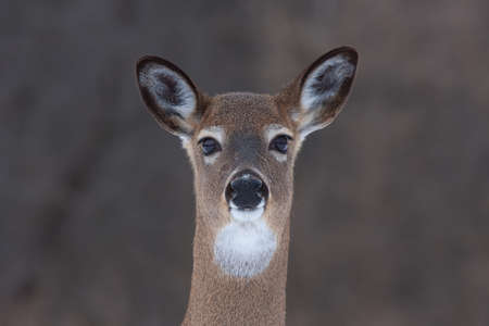 whitetailed: White-tailed deer in winter