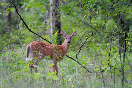 White-tailed fawn in spring forest