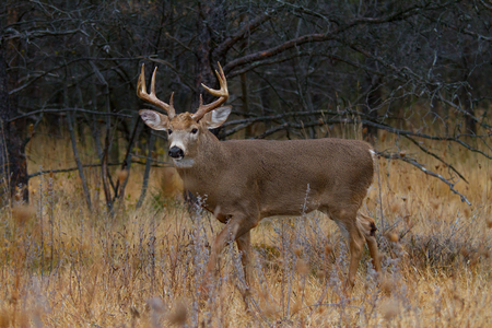 White-tailed deer buck in rut in an autumn meadow Stock Photo