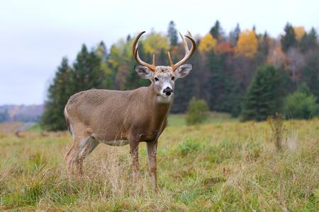 가을 초원에 틀에 박힌 흰 꼬리 사슴 벅