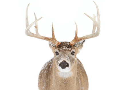 White-tailed deer buck in the winter snow