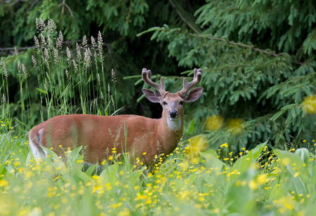 White-tailed deer buck in spring