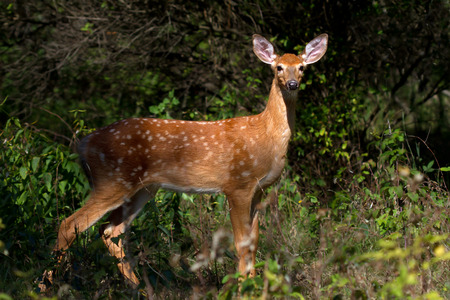 whitetailed: White-tailed deer fawn in the forest