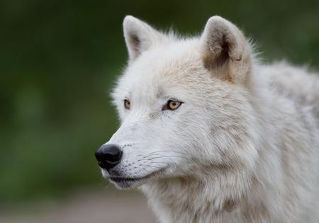 Arctic wolf closeup in autumn