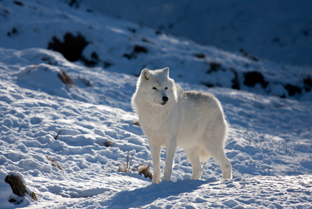 겨울철 북극 늑대
