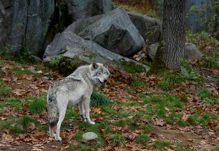 Timber wolf in autumn Stock Photo