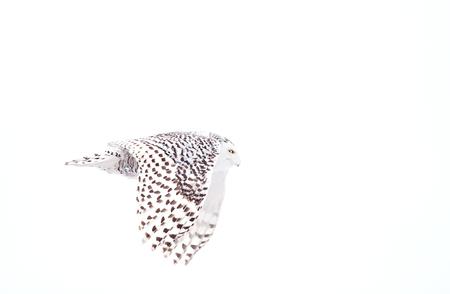 Schnee-Eule (Bubo scandiacus) fliegt niedrig über einem offenen schneebedeckten Feld Standard-Bild