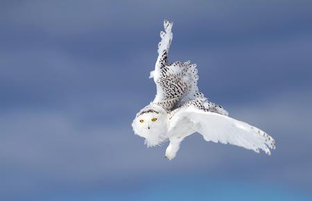 Sneeuwuil (Bubo-scandiacus) die tegen een blauwe de winterhemel vliegt