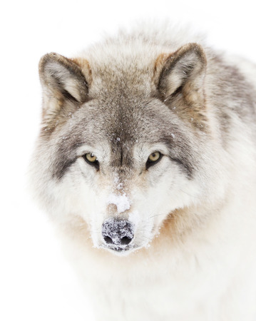 Timber wolf closeup in winter Banco de Imagens