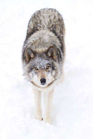 Timber wolf standing in the snow Фото со стока