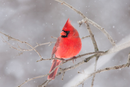 Northern Cardinal perched on a branch in winter