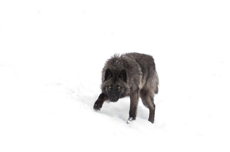 Black wolf walking in the winter snow