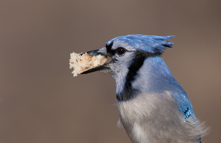bluejay: Blue jay perched on a branch with piece of bread
