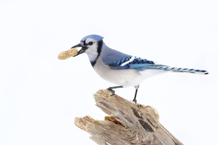 bluejay: Blue jay perched on a branch with peanut Stock Photo