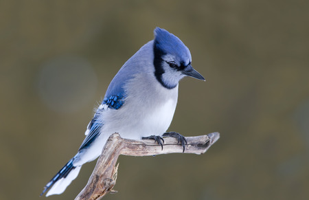 bluejay: Blue jay perched on a branch
