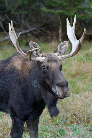 Bull moose (Alces alces) poses in the forest