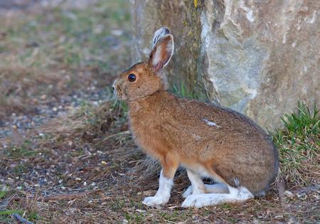 varying: Snowshoe hare (Lepus americanus) in autumn
