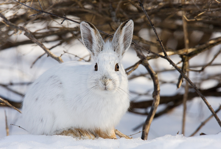 Snowshoe hare (Lepus americanus) in winter Stock Photo