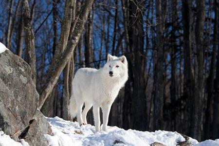 Arctic wolf standing in the snow Фото со стока