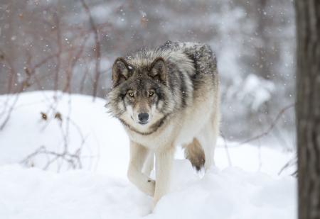 Wolf van het hout wandelen in de sneeuw