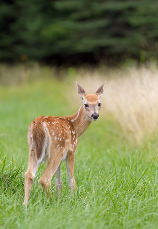 whitetailed: White-tailed deer fawn looking back in a meadow in springtime Stock Photo