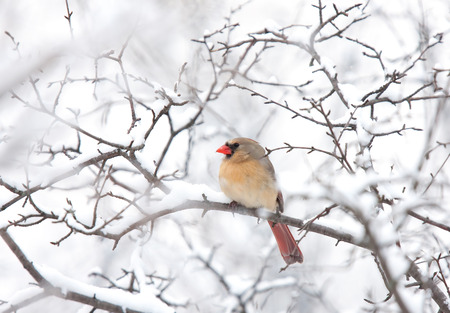 Northern Cardinal female perched on a branch in winter Stock Photo