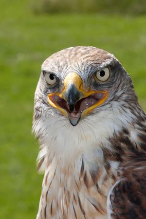 Ferruginous Hawk portrait Stock Photo