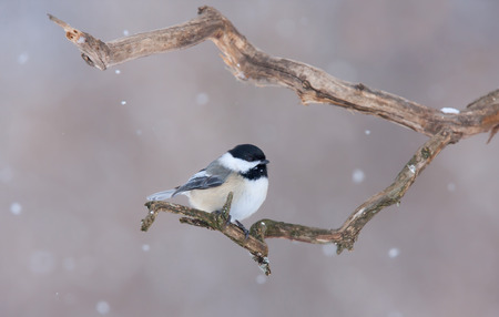 Black-capped Chickadee perched on branch in winter