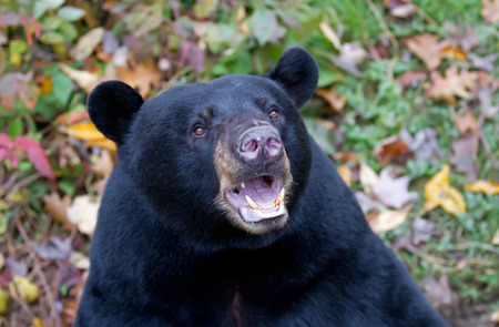 Black bear with open mouth