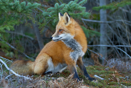 algonquin park: Red fox (Vulpes vulpes) in Algonquin Park in autumn Stock Photo