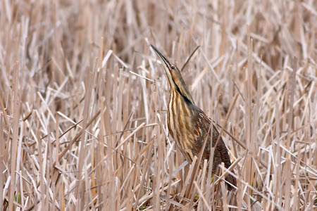 American Bittern is camouflaged amongst the reeds of a pond