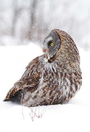 Great grey owl in winter (Strix nebulosa) Stock Photo