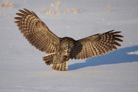 Great grey owl preparing to land on snow (Strix nebulosa)