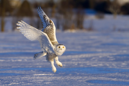 Snowy owl (Bubo scandiacus) takes off in winter