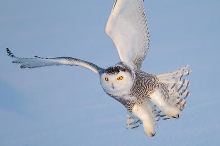 Sneeuw uil (Bubo scandiacus) komt binnen voor een landing