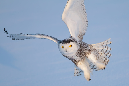 Snowy owl (Bubo scandiacus) comes in for a landing