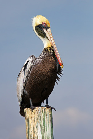 Brown pelican on a post