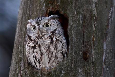 Eastern screech owl hunts from his nest in tree