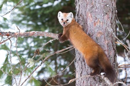 omnivore animal: Pine marten (Martes americana) rests on a branch in Algonquin Park in winter