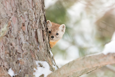Pine marten (Martes americana) peeks out from behind a tree in winter in Algonquin Park Stock Photo